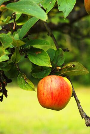Soins et vaporisation d 39 arbres fruitiers par arbolab arboriste - Maladie des arbres fruitiers ...